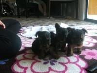 Three male UKC registered yorkie young puppies 5 weeks