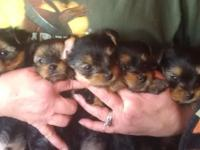 I have 5 yorkie male puppies for sale asking 400 a pice