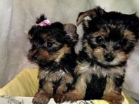 Three beautiful traditional yorkie puppies for sale.