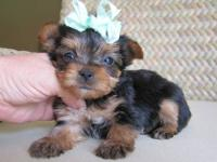 Beautiful Yorkie puppies are ready for a new homes. We