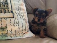 We have 3 AKC Yorkshire Terrier puppies. Outstanding,