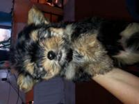 I have two child yorkie young puppies all set for their