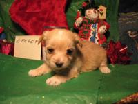 Stunning Yorkie young puppies, simply in time for