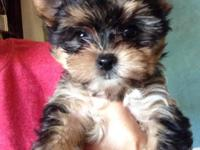 Animal Type: Dogs Breed: Yorkie Puppies Yorkie Puppies