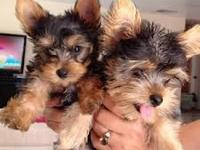 Teacup Puppies For Sale In Nashville Tennessee