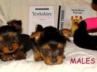 We have male and female Yorkie puppies that are seeking