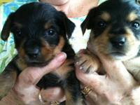 We have 4 beautiful yorkie babies. Mama is a Chorkie
