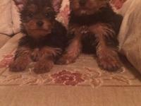 I have a litter of PUREBRED yorkie puppies that were