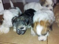 AKC Registered Baby Yorkie Puppies. They are up to date