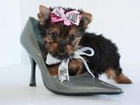 Animal Type: Dogs Breed: Bull Terrier Yorkie puppies