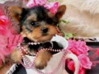 Animal Type: Dogs Breed: Yorkshire Purebred tiny teacup