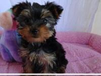 Yorkie puppies needing good homes !! they are  2.3 lbs.