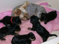 1 male and 1 female Yorkie pups. Vet checked, with a