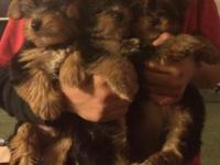I have actually PUREBRED yorkie puppies that were
