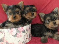 Adorable Yorkie dogs. Will be 9weeks on the 28th of