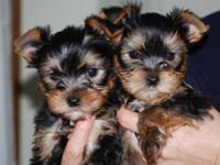 Pure Bred Yorkshire terreir pups. CALL/TEXT....( Ready