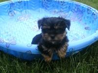 Yorkie Puppies, Purebred.  Super cute and