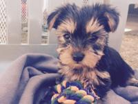 Purebred Yorkies-Ready for their forever homes on June