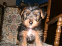 Yorkie Puppies, purebred. Only $325! Very cute healthy