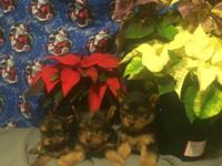 I have a trash of PUREBRED yorkie young puppies that