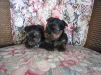 My new litter of puppies is here. Daisy had 3 beautiful