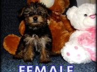 WE HAVE FEMALE AND MALE YORKIE PUPPIES THAT ARE READY