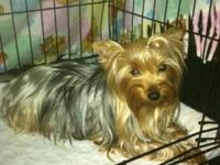 Yorkie puppies ready to go Thanksgiving weekend looking
