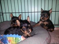 Hello, I have some gorgeous little yorkie babies