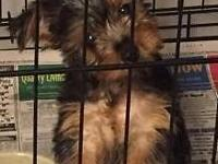 Beautiful Yorkie Puppies 2 little boys Registered AKC
