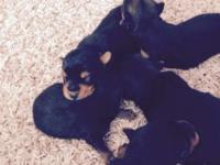 3 females 2 males born 2/7/15 . . 450$-650$ deposit