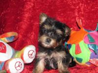 "Yorkie Pups"" Tiny"" Male & & Female, CKC Registered, 8"
