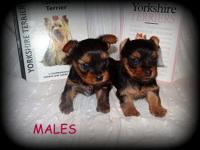 We have 2 different litters of Yorkie puppies that we