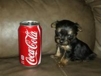 Lovely and oh so sweet Yorkie young puppies!!!! I have