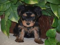 Noble Yorkies is a small home breeder of Quality AKC