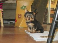 1-Adorable loving little Yorkshire Puppy looking for a