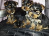 We have akc yorkie puppies for sale. 2 children and 1