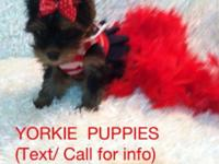 YORKIE puppy- Blue Ribbon AKC Champion Bloodline * TEXT