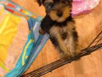 Hana is a 13 week-old female yorkshire terrier born