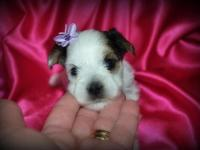 """Pearl"" is a Parti colored AKC female. She will be"