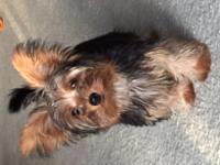 Yorkie puppy male 17 weeks old. This cute guy is
