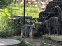 Unregistered Yorkie male 6 months old. Super sweet. Pad