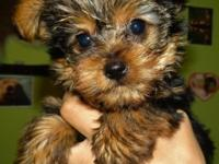 We have a 10 weeks old Male Yorkshire Terrior (Yorkie)