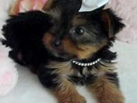 I have a yorkie female ready to go to her brand-new
