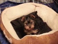 Male yorkie from akc parents but would prefer to sell