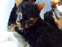 Cute Male Yorkie infant. 9wks, veterinarian checked,