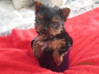 BEAUTIFUL TEA CUP YORKIE MALE PUPPY.SHOW QUALITY. WILL