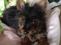 CKC Yorkie Female 8 weeks old. Her tale is docked and