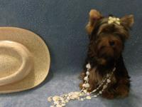 Sweet Yorkie puppy looking for a loving home. The