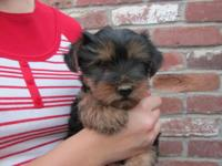 We have an adorable male Yorkie puppy for sale. He is a