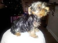 I have one female Yorkie puppy available. She made 13